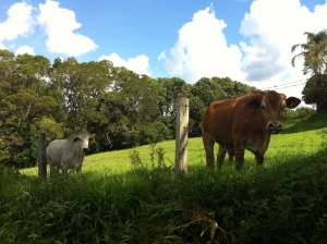 Some of my beautiful neighbours coming to see what I was up to. Hello lovely cows :)